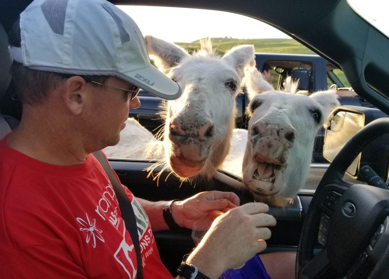 The begging burros begging for food at Wildlife Loop Road